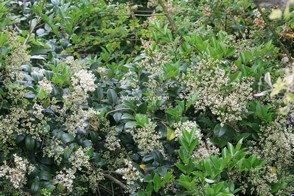 Ligustrum japonicum