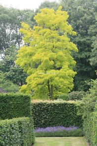 Robinia pseudo-acacia 'Frisia'