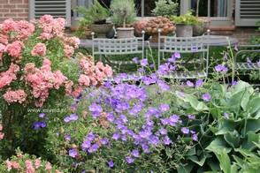Geranium rozanne combineren