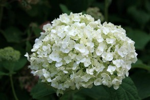Hydrangea arborescens 'Abetwo' (INCREDIBALL)