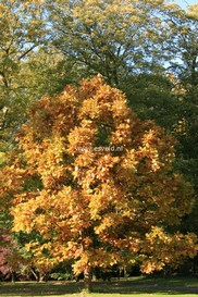Quercus 'Pondaim'