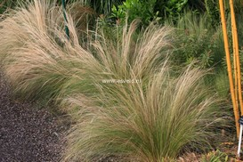 Stipa tenuifolia