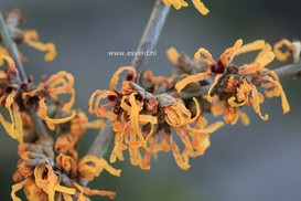 Hamamelis intermedia 'Orange Peel'