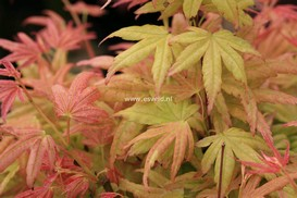 Acer palmatum 'Kinran'