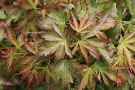 Acer palmatum 'Cynthia's Crown Jewel'