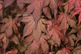 Acer palmatum 'Kasagi yama'
