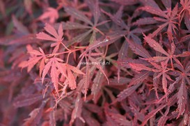Acer palmatum 'Jerre Schwartz'