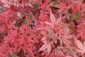Acer palmatum 'Johnnie's Pink'