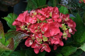 Hydrangea macrophylla 'Merveille Sanguine'