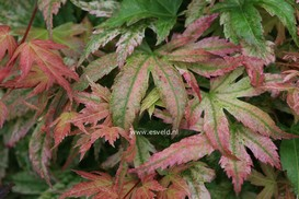 Acer palmatum 'Kawahara Rose'