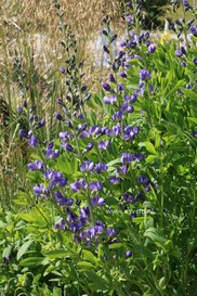Baptisia australis