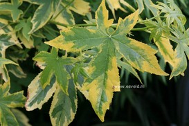 Liquidambar styraciflua 'Golden Treasure'