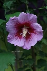 Hibiscus syriacus 'Gandini Santiago' (PURPLE PILLAR)