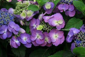 Hydrangea macrophylla 'Mak02' (BLUEBERRY CHEESECAKE)