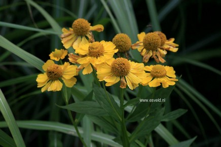 Helenium 'Kanaria'