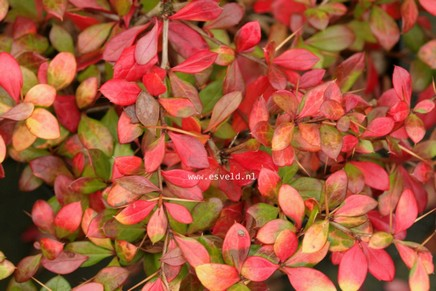 Berberis media 'Duel Jewel'