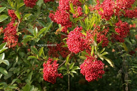 Viburnum betulifolium