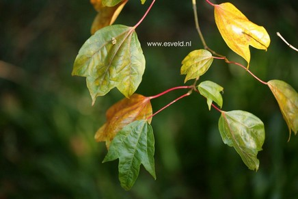 Acer campbellii ssp. wilsonii