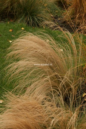 Stipa tenuissima 'Ponytails'