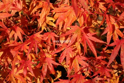 Acer palmatum 'Ko chidori'