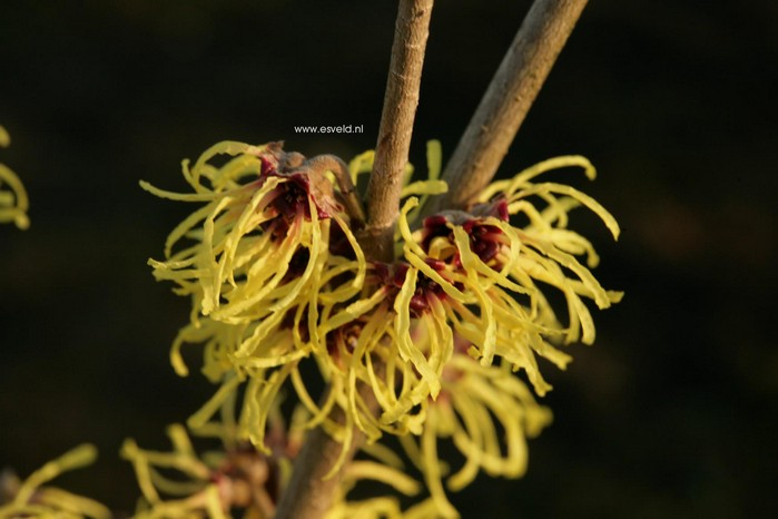 Hamamelis intermedia 'Advent'
