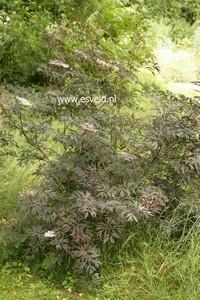 plant store sambucus nigra 39 eva 39 black lace. Black Bedroom Furniture Sets. Home Design Ideas