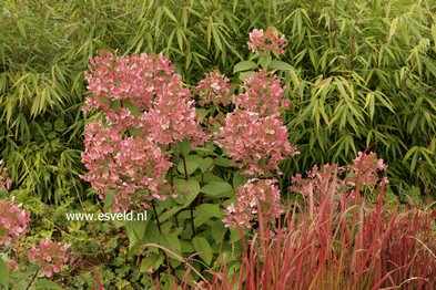 plantenwinkel hydrangea paniculata 39 wim 39 s red 39. Black Bedroom Furniture Sets. Home Design Ideas