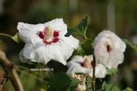 Hibiscus sinosyriacus 'Ruby Glow'