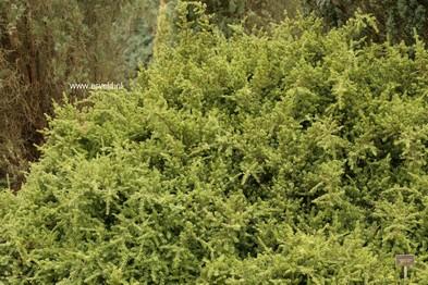 Podocarpus nivalis 'Rockery Gem'