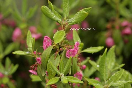 Kalmia angustifolia 'Compacta'