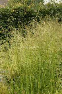 Deschampsia cespitosa 'Tauträger'