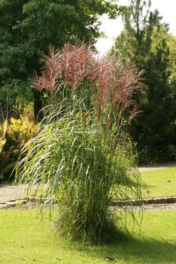 plantenwinkel miscanthus sinensis 39 ferner osten 39 www. Black Bedroom Furniture Sets. Home Design Ideas