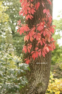 Parthenocissus quinquefolia var. engelmannii