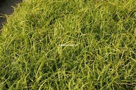 Carex morrowii 'Irish Green'