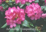 Rhododendron 'Dr. Arnold W. Endtz'