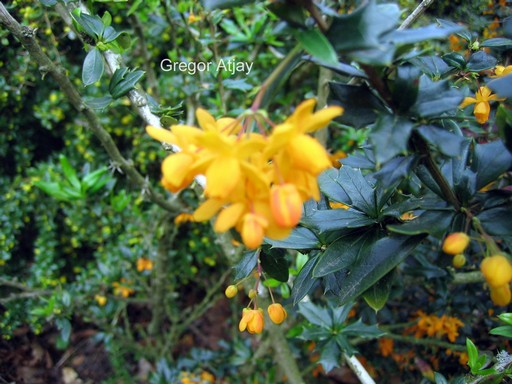 Berberis lologensis 'Apricot Queen'