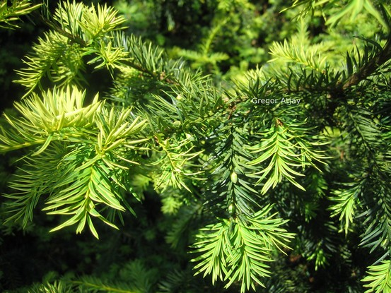 Taxus baccata 'Aurea'