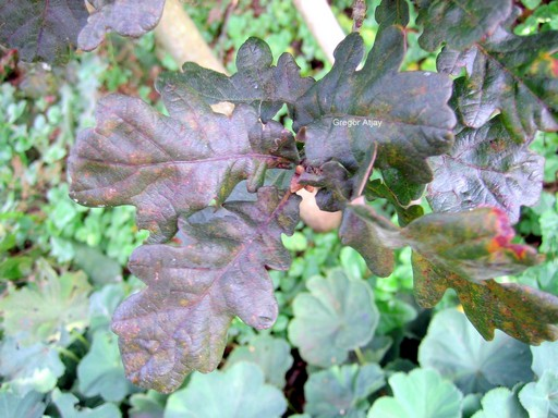 Quercus robur 'Atropurpurea'