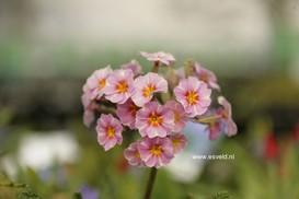 Primula vulgaris 'Avondale'