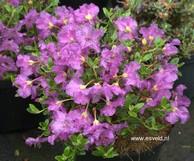 Rhododendron saluenense chameunum