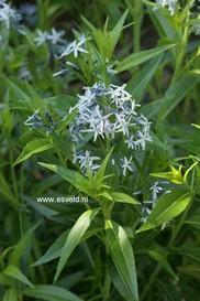 Amsonia tabernaemontana 'Salicifolia'