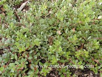 Arctostaphylos uva-ursi 'Radiant'