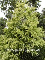 Cryptomeria japonica 'Barabits Gold'
