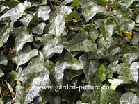 Hedera helix 'Atropurpurea'