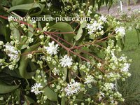 Heptacodium miconioides