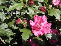 Hibiscus syriacus 'Boule de Feu'