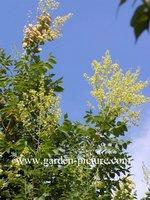 Koelreuteria paniculata 'Fastigiata'