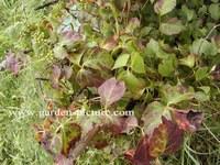 Parthenocissus tricuspidata 'Minutifolia'