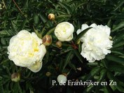Paeonia 'Duchesse de Nemours'
