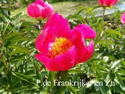 Paeonia officinalis 'Crimson Globe'
